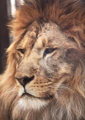 Portrait of calm lion
