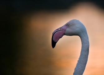 Profile of flamingo