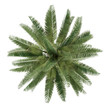 canvas print picture - Palm tree isolated. Jubaea chilensis top view