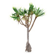 Palm plant tree isolated. Pandanus utilis - 81496141