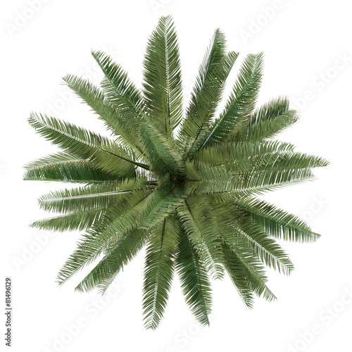canvas print picture Palm tree isolated. Jubaea chilensis top view