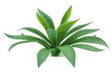 Plant bush isolated. Agave