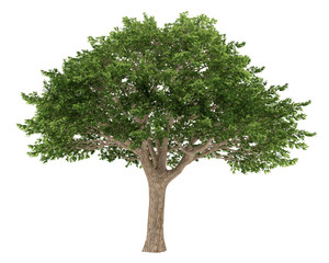 Tree isolated. Schinus terebinthifolius