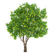 Citrus fruit tree isolated. lemon - 81497919