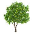 canvas print picture - Citrus fruit tree isolated. lemon