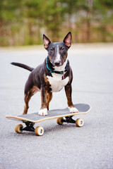 english bull terrier dog on a skateboard