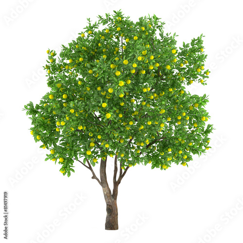 canvas print picture Citrus fruit tree isolated. lemon