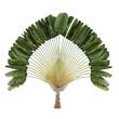 Palm plant. Ravenala madagascariensis - 81498109