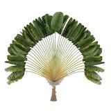 Palm plant. Ravenala madagascariensis poster