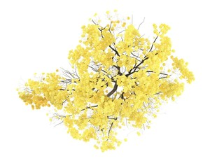 Tree isolated. Tabebuia chrysantha top