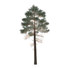 Tree pine isolated. Pinus