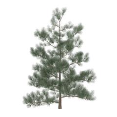 Tree pine isolated. exotic Pinus