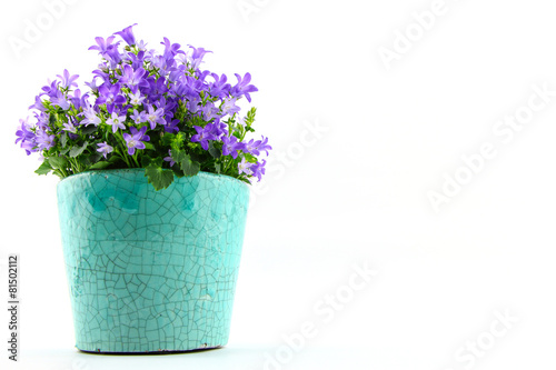 Foto op Plexiglas Lilac Potted Campanula Portenschlagiana isolated on white background