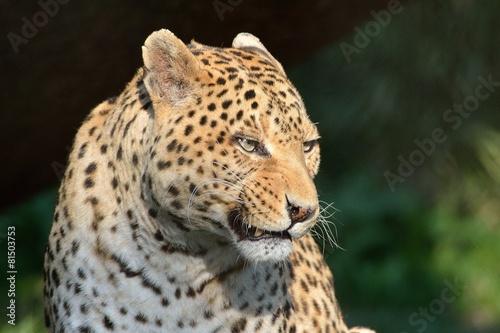 Foto op Plexiglas Luipaard Leopardo