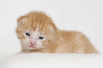 Two weeks old red kitten