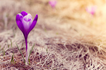 Crocus flowers in the warm rays of spring.