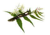 Medicinal Neem Flower, leaves with branch