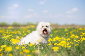 Coton de Tulear dog portrait on bright sunny summer day