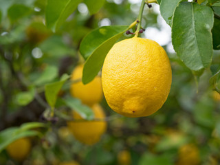 Zitronen - Limonen - Zitronenbaum - Zitrusfrüchte - Früchte