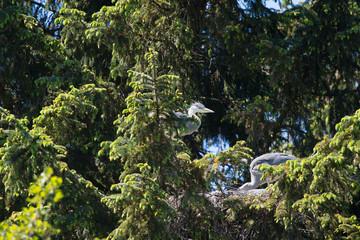 Nest great blue Heron in tree