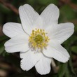 Blossom of wood anemone. Macro.