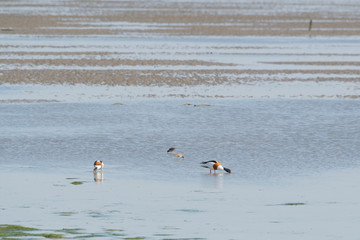 common shelducks foraging in wadden sea