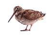 Eurasian Woodcock (Scolopax rusticola) isolated on white - 81510359