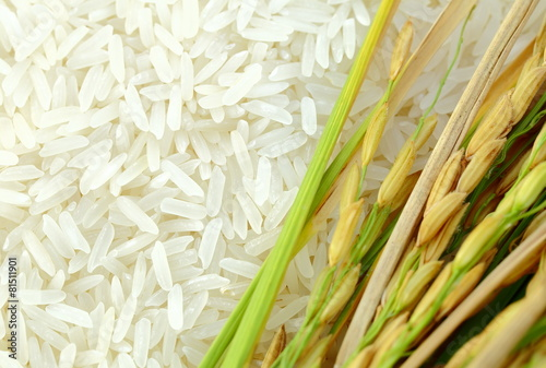 Rice's grains,Ear of rice background. - 81511901