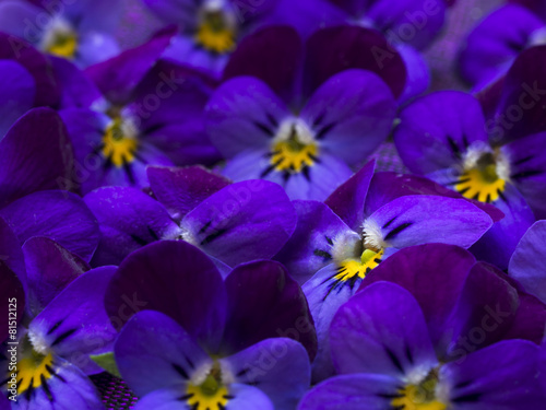 Fotobehang Lilac beautiful wild violets