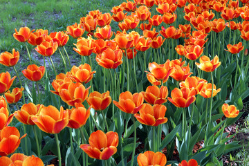 Lot of bright red and yellow tulips