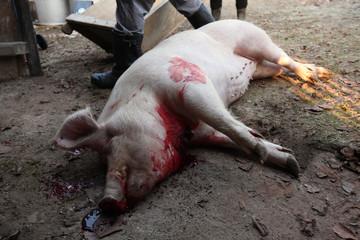 Shrovetide public pig slaughter, Czech Republic.