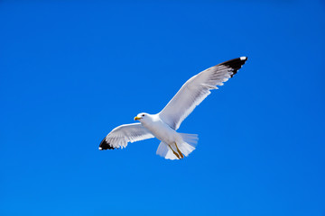 seagull flies against the blue sky