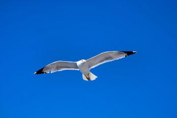 seagull flies against the blue sky