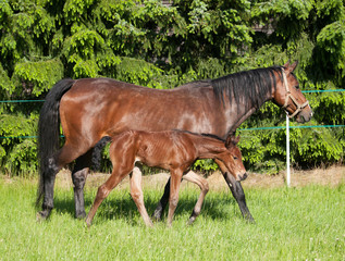 Mare with newborn foal of sport horse on meadow