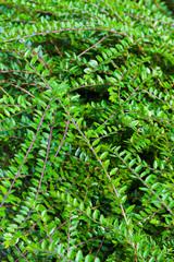 Foliage background
