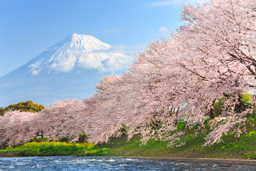 Cherry blossoms or Sakura and Mountain Fuji in background