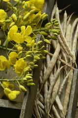 Brassica napus oleifera Rapeseed Colza 油菜籽 Raps