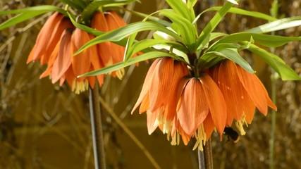 Kaiserkrone,Fritillaria imperialis,Blüte