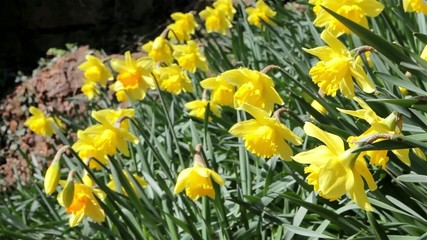 Daffodil Spring Flowers Close Up - Swaying Gently In the Wind