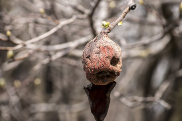 Left over and withered of branch autumn pear in spring time