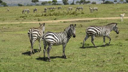 zebra in Masai Mara National Park.