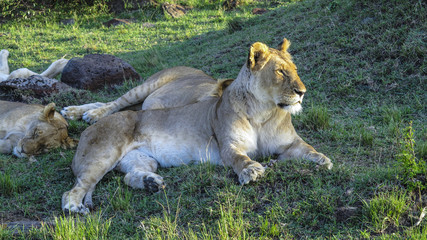 lion family relaxes in Masai Mara National Park.