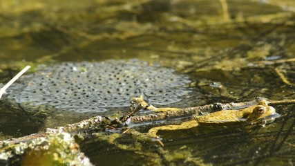 Laich mit Kröte oder Frosch