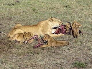 lion family eating in Masai Mara National Park.