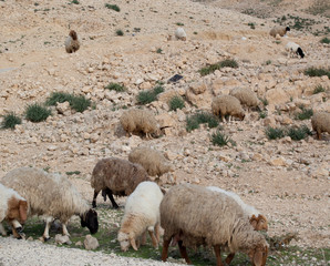 Sheep on rocky hillside