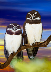 Spectacled Owls couple  against sunset