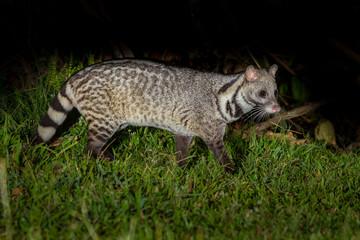 Nocturnal animals Large indian civet (Viverra zibetha)