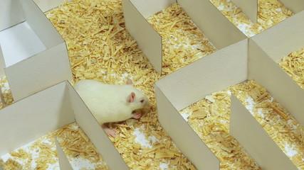 Rat on Maze Eats Cheese