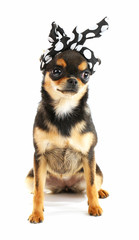 Cute chihuahua puppy in color dots kerchief isolated on white