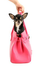 Cute chihuahua puppy in pink female bag isolated on white